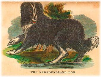 Newfoundlandinkoiran alkuperä
